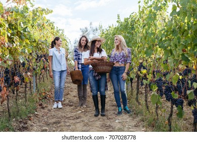 Young women friends harvesting red grapes in the vineyard