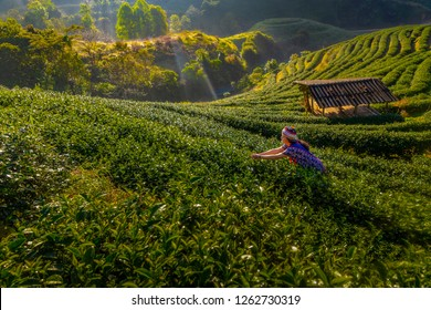 Young women are harvesting their produce from the tea plantations in the morning. Organic Tea Plantation