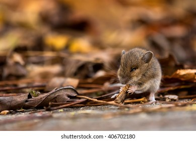 A young wood mouse munches on seeds and nuts along the side of the road.