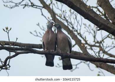 A young Wood Pigeon (Columba palumbus) feeding from the mother both with eyes closed