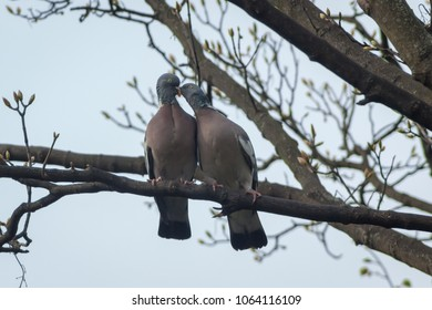 A young Wood Pigeon (Columba palumbus) feeding from the mother while on a tree branch