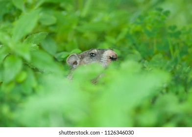 A young woodchuck, or groundhog, (marmota monax) pokes its head out of its burrow where it is surrounded by greenery