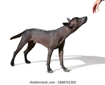 young Xoloitzcuintle (Mexican Hairless Dog)  standing isolated on white background looking at human hand