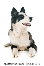 young Yakutian Laika in front of white background