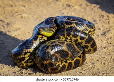 Young Yellow anaconda laying on the ground, Pantanal, Brazil