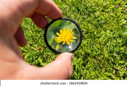 Young yellow dandelion flower under the magnifying glass used for enlarging