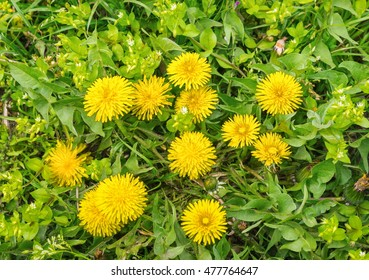 Young yellow dandelions on green grass background