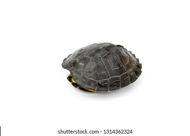 Young Yellow - headed Temple Turtle (Hieremys annandalii) are taking refuge in armature. isolated on white background.