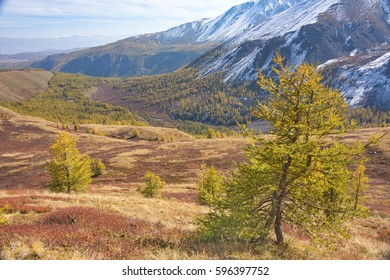 young yellow larch against the background of an autumn mountain landscape in Altai