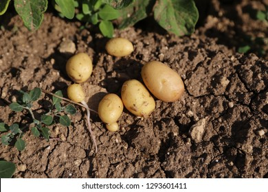 Young yellow potato on brown ground,Fresh Organic Potatoes,Large - Image
