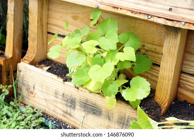 A young yellow squash plant growing in a slightly modified wooden pallet.