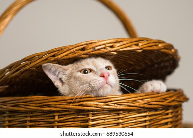 Young yellow tan cat kitten feline escaping from or peeping out of a wicker picnic basket