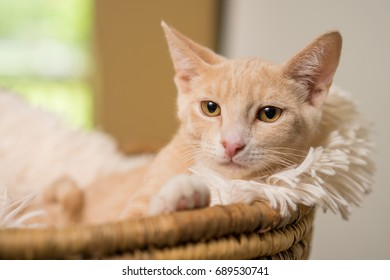 Young yellow tan domestic short hair cat kitten feline lying down in basket with white soft blanket looking pampered relaxed spoiled with attitude