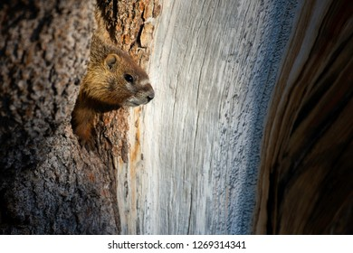 A young Yellow-bellied Marmot climbing around in a tree at Cedar Breaks National Monument in southern Utah.