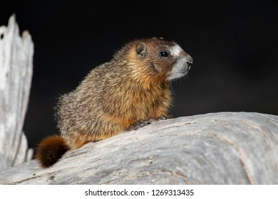 Young Yellow-bellied Marmot sitting on a log with a dark background at Cedar Breaks National Monument in southern Utah.