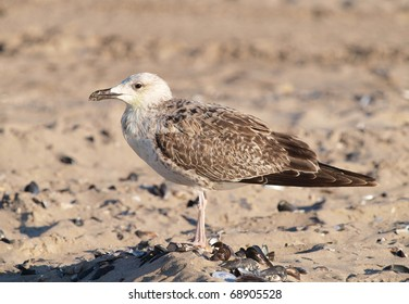 A young Yellow-legged Gull (Larus michahellis) on a beach on the Romanian Black Sea coast..