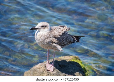 Young yellow-legged gull standing on rock next to sea #1