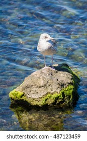 Young yellow-legged gull standing on rock next to sea #8