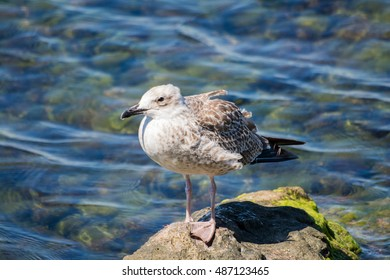 Young yellow-legged gull standing on rock next to sea #6