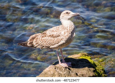 Young yellow-legged gull standing on rock next to sea #4