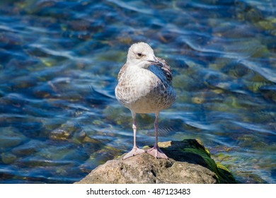 Young yellow-legged gull standing on rock next to sea #9