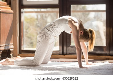 Young yogi attractive woman practicing yoga concept, standing in asana paired with Cow Pose on the inhale, Cat exercise, Marjaryasana pose, working out, wearing white sportswear, full length, home
