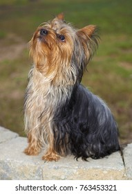 Young Yorkie sitting on bricks waiting for a command