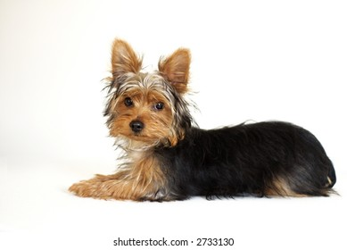 young Yorkshire Terrier puppy with shaggy coat against white background