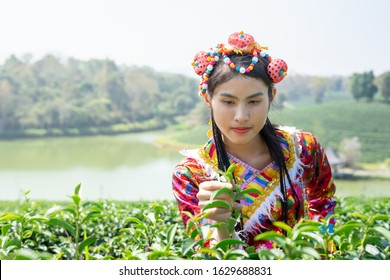 Young Yunnan Chinese lady from southern China wearing traditional tribe costume collecting tea leaves in tea farmland with river background in the sunny morning. Picking tea with hands carely.