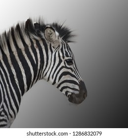 the young zebra