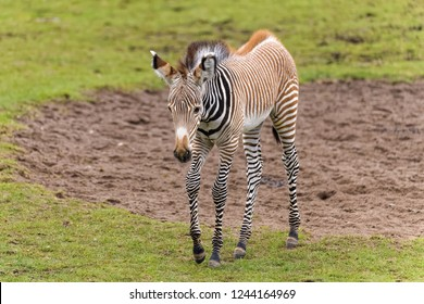 Young zebra with black and brown stripes looking for food