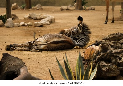 Young zebra lying on the ground