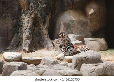 a young zebra resting on its back