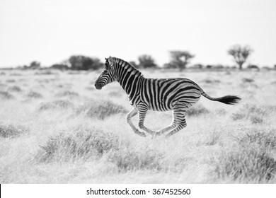 young zebra running