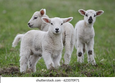 Youngh lamb, farmers Northland Northumbria, Norway. sheep, farmland, easter, two brothers, farming, animal, ireland, scotland,australia, new zealand, auckland, group