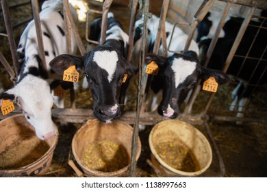 Youngs black and white calf at dairy farm. Newborn baby cow, France