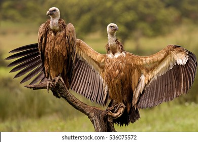 Youngs Griffons vultures. Gyps fulvus