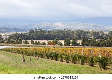 Yountville, Australia - April 22, 2015: Kangoroos in the vineyard at Domaine Chandon close to Melbourne