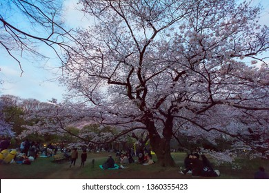 Yoyogi, Tokyo / Japan - March 31st 2019: Japanese people and tourists enjoying the hanami season in Yoyogi Park in Tokyo, dringink under the cherry blossom trees.