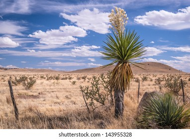 Yuca blooms in the Chihuahuan desert of Texas.