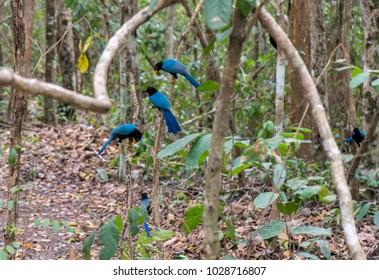 Yucatan Jay's near Tulum Mexico