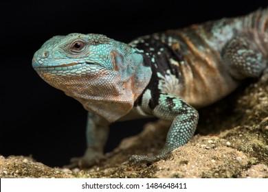 Yucatan Spiny-tailed Iguana (Cachryx defensor)