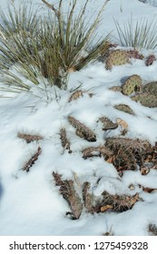 Yucca and Cactus in snow