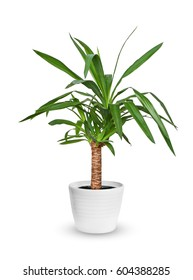Yucca elephantipes a potted plant isolated over white