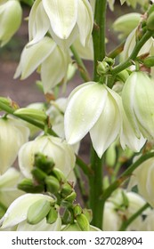 Yucca Filamentosa plant in the flowering period. Vertical mage close-up