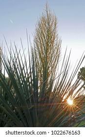 yucca flower with sunburst