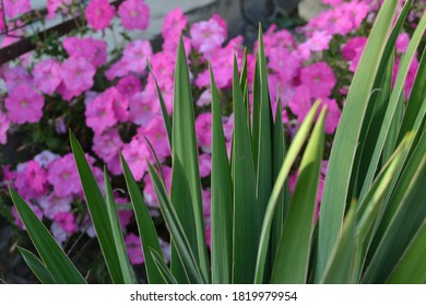 Yucca on a background of pink petunia. Decoration for your garden.