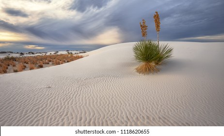 Yucca on rippled sand  in White Sands National Monument, New Mexico, USA.