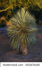 yucca plant in evening light