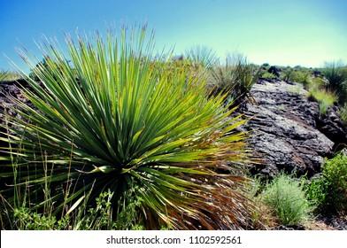 Yucca plant Malpais Lave Flow Valley of Fires Park